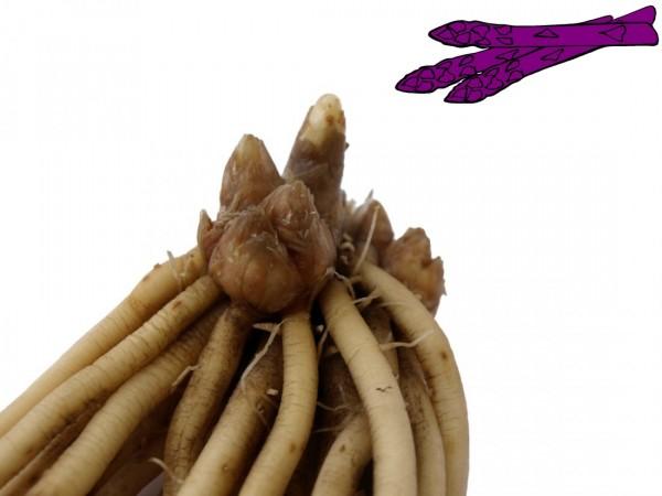 Spargelpflanzen - Sorte Violetta